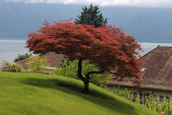 Alberi e piante ornamentali for Piante da giardino sempreverdi alto fusto