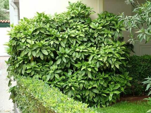 arbusti e cespugli sempreverdi