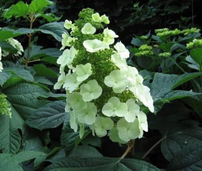 Quercifolia snow queen for Ortensia quercifolia