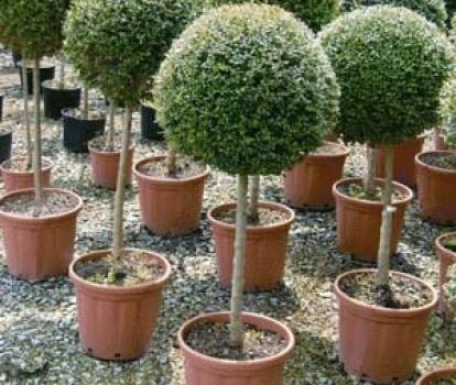 Delavayanum a palla for Alberelli ornamentali
