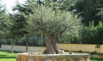 Piante di ulivo in vendita idea creativa della casa e - Giardino con ulivi ...