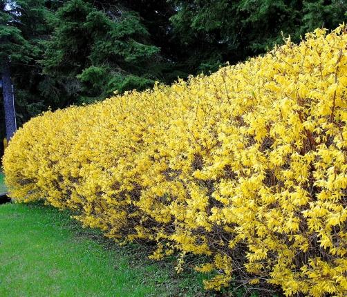 Vivaio piante udine progettazione giardini udine for Piante da siepe