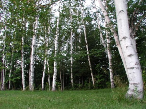 Piante Alto Fusto : Vivaio piante udine progettazione giardini