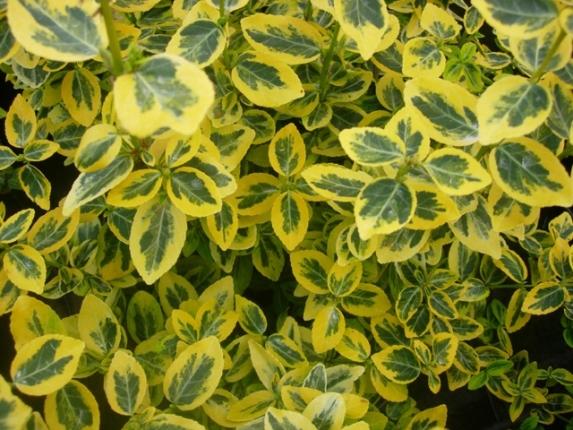 Arbusti e cespugli sempreverdi for Piante ornamentali sempreverdi da esterno
