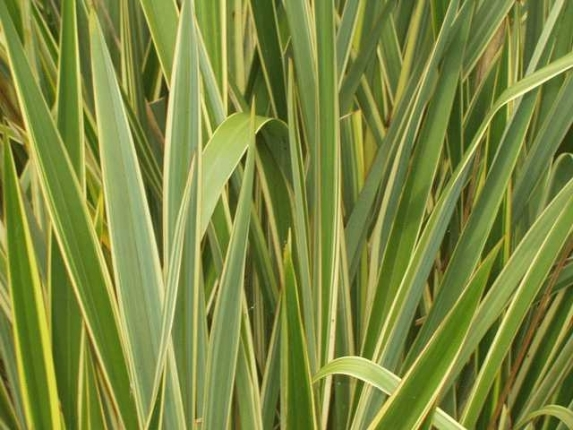 Arbusti e cespugli sempreverdi for Le piante sempreverdi