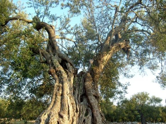Vivaio piante udine progettazione giardini udine for Vendita piante olivi